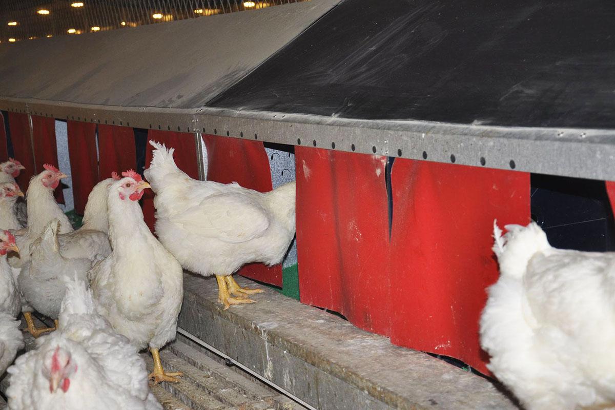 cage free chicken farm project