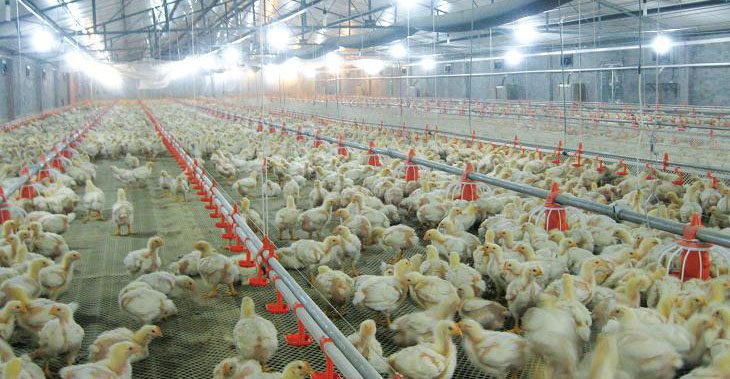 free range chicken farms