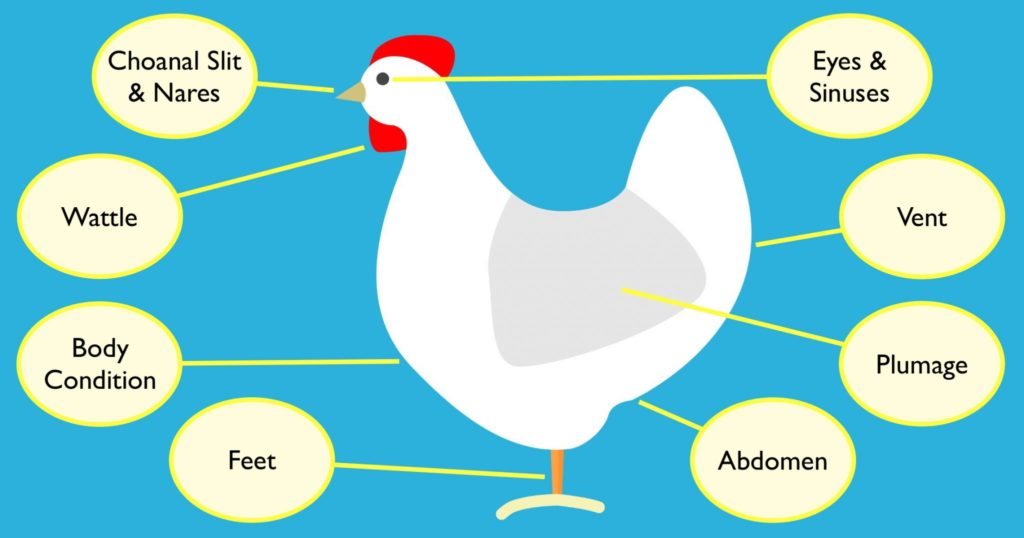 Chicken Health and Disease Prevention