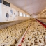 Daily Management of Broiler Breeding