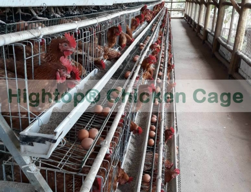 Small Layer Chicken Farm Project in Uganda