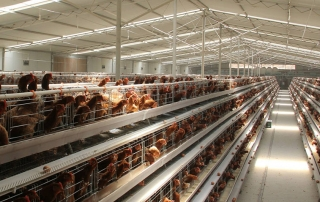 chicken egg farm