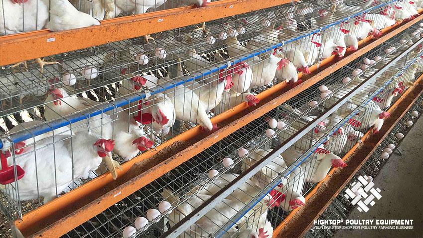chicken egg farm in Philippines