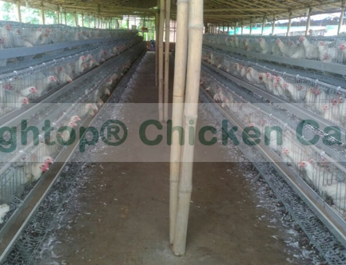 Small Layer Chicken Egg Farming Business in India