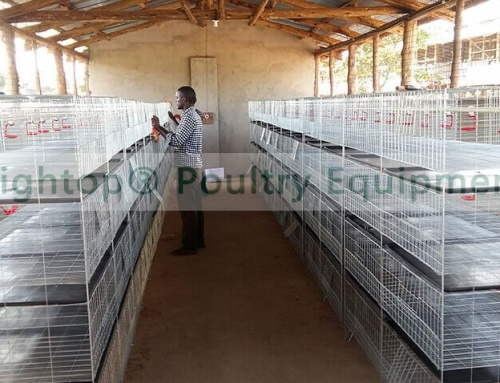 Baby Chick Cage Project in Uganda