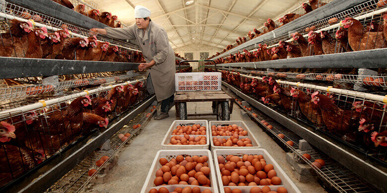 How to Increase Egg Production, poultry farming business plan