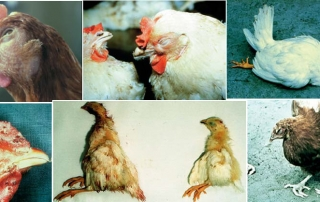 poultry disease control and prevention